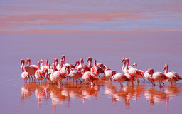 Flamingoes. On Laguna Colorada in southern Bolivia stock photo