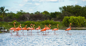 Flamingoes at Celestun Biosphere Reserve, Yucatan, Mexico Stock Photo