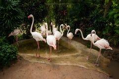 Flamingoes in dierentuin Royalty-vrije Stock Afbeelding