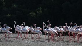 Flamingoes in Dubai stock footage