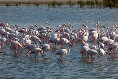 Flamingoes in Dubai Stock Photography