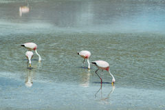 Flamingoes eating  in Royalty Free Stock Photos