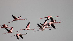 Flamingoes in flight Stock Images