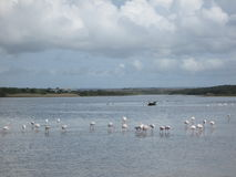 Flamingoes. Royalty Free Stock Photography