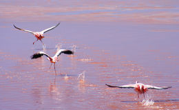 Three Flamingoes flying. Flamingos over the red water surface of the Laguna Colorada in southern Altiplano, Bolivia Stock Images