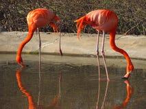Flamingoes in het water Stock Afbeeldingen
