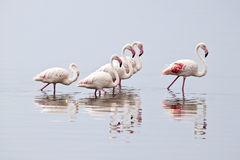Flamingoes in Kenia Royalty Free Stock Images