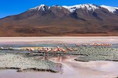 Flamingoes Laguna Colorada, Βολιβία Στοκ Εικόνες