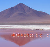 Flamingoes On Laguna Colorada. In southern Bolivia stock images