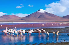Flamingoes in Laguna Colorada, Bolivië stock foto's