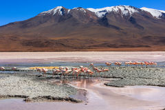 Flamingoes in Laguna Colorada,Bolivia Stock Images