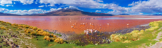 Flamingoes in Laguna Colorada , Bolivia Royalty Free Stock Photos