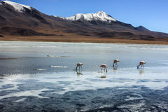 Flamingoes in Laguna Verde ,Bolivia. Landscape of Laguna Verde ,Bolivia Royalty Free Stock Image