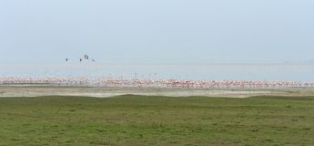 Flamingoes on a lake Royalty Free Stock Photography