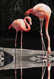 Flamingoes By Lake Stock Photo