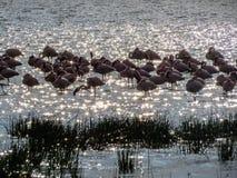 Flamingoes in Lake Elmentaita Stock Image