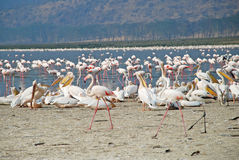 Flamingoes at Lake Nakuru, Kenya Royalty Free Stock Photography