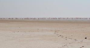 Flamingoes Stock Photos