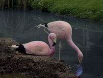 Flamingoes Royalty Free Stock Images