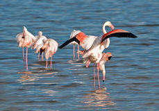 Flamingoes mating. Five shots in sequence about flamingoes mating in the natural park of Cagliari, Sardinia (Italy Stock Images