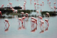 Flamingoes in meer in Tanzania, Afrika Royalty-vrije Stock Fotografie