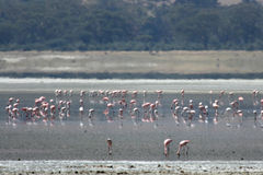 Flamingoes - Ngorongoro Crater, Tanzania, Africa Royalty Free Stock Photo