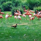 Flamingoes pink beauty zoo Royalty Free Stock Image