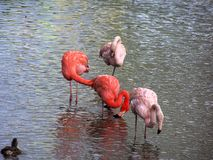 Flamingoes Royalty Free Stock Photography