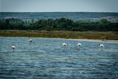 Flamingoes in a pond walking. Flamingoes walking in the Stagno di Mistras, Sinis peninsula, Sardinia, Italy, Europe Stock Photo