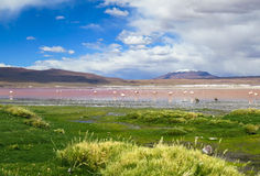 FLAMINGOES AT RED LAGOON, BOLIVIA stock photography