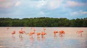 Flamingoes at Rio Lagartos Biosphere Reserve Royalty Free Stock Photography