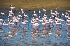 Flamingoes at Rio Lagartos Biosphere Reserve Royalty Free Stock Photography