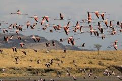 Flamingoes som flyger på Natron laken i Tanzania Arkivfoto