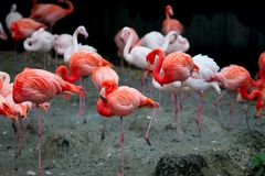 Flamingoes in their natural enviroment royalty free stock images
