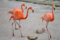 Flamingoes Royalty Free Stock Photography