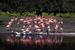 Flamingoes are a type of wading bird in the genus Phoenicopterus, the only genus in the family Phoenicopteridae Stock Photography