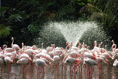 Flamingoes and water fountain Royalty Free Stock Image
