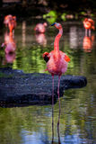 Flamingoes in the water. In the wild Stock Photos