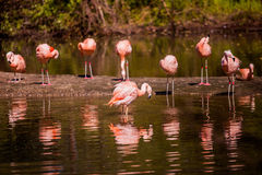 Flamingoes in the water. In the wild Stock Image