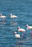 Flamingoes. Wild flamingoes wading in shallow water Royalty Free Stock Image