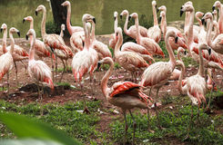 Flamingoes in Zoo of Sao Paulo, Brazil Stock Image