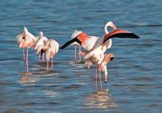flamingoesihopparning Arkivbilder