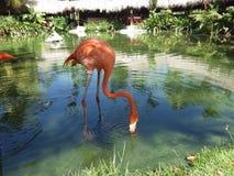 Flamingoessen Stockfotos