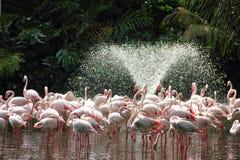 flamingoesspringbrunnvatten Royaltyfri Bild