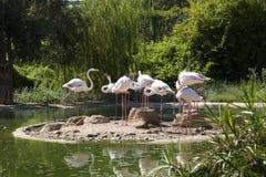 Flamingofågel i sjöfoto Fotografering för Bildbyråer
