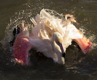 Flamingofågeltvagning i sjön Royaltyfria Foton