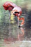 Flamingofåglar i fångenskap Fotografering för Bildbyråer