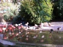 Flamingofåglar i zoo Arkivbild