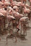 Flamingofütterung Stockfotografie
