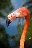 Flamingogesicht lizenzfreie stockfotografie